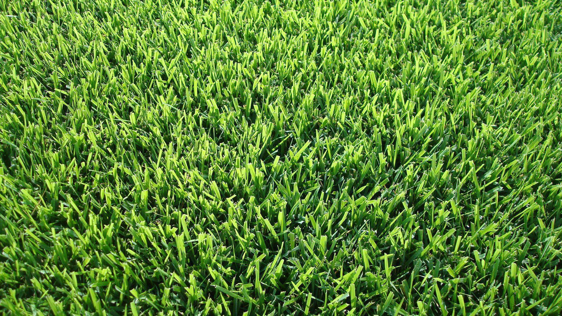 Shade Bermuda Grass